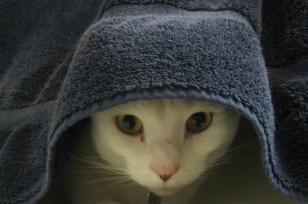cat-hiding-under-towel-e1324002676222